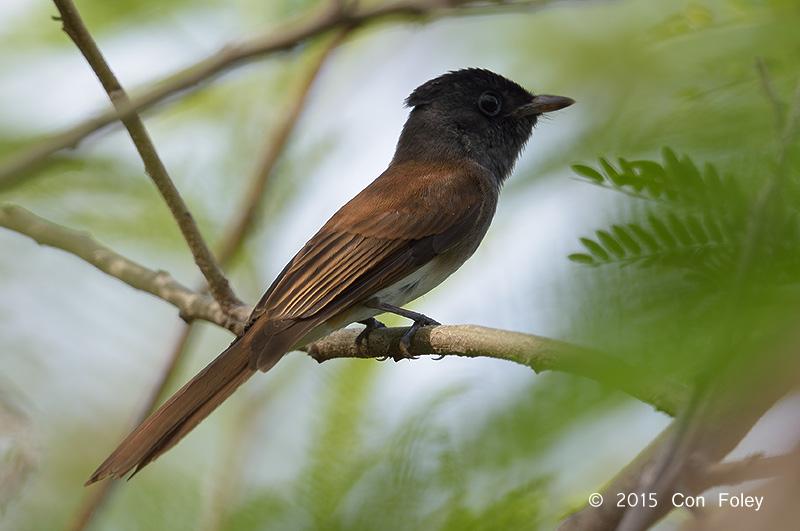 Flycatcher, Japanese Paradise (female) @ Tuas