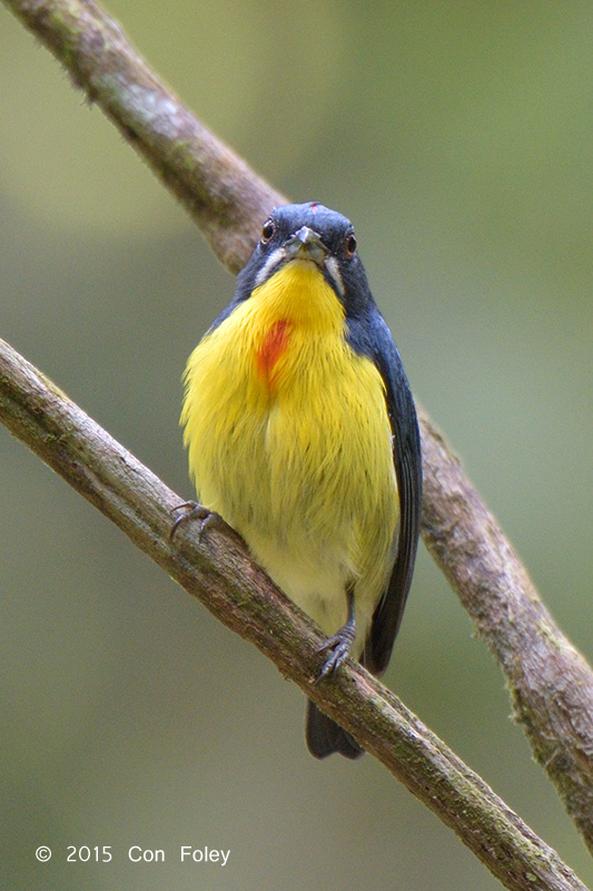 Flowerpecker, Crimson-breasted (male)