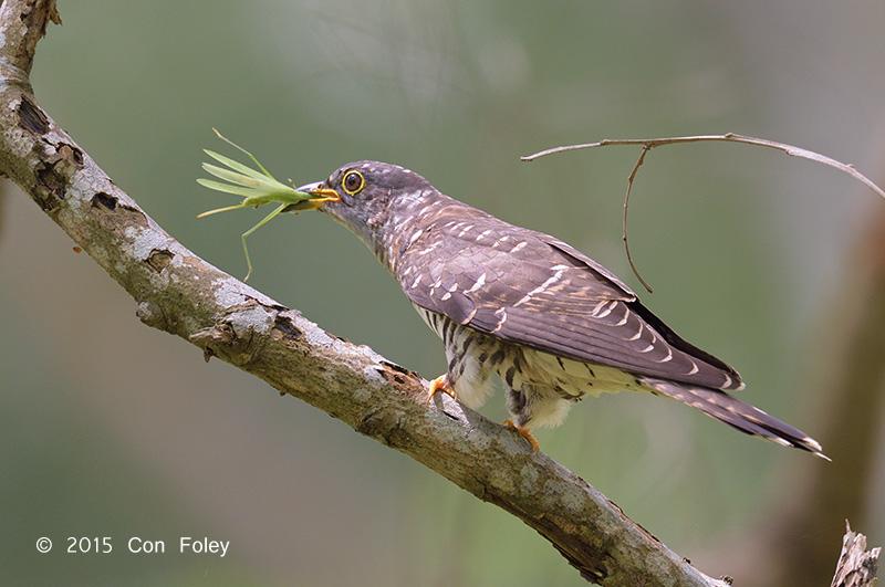 Cuckoo, Indian (juv) @ Bidadari