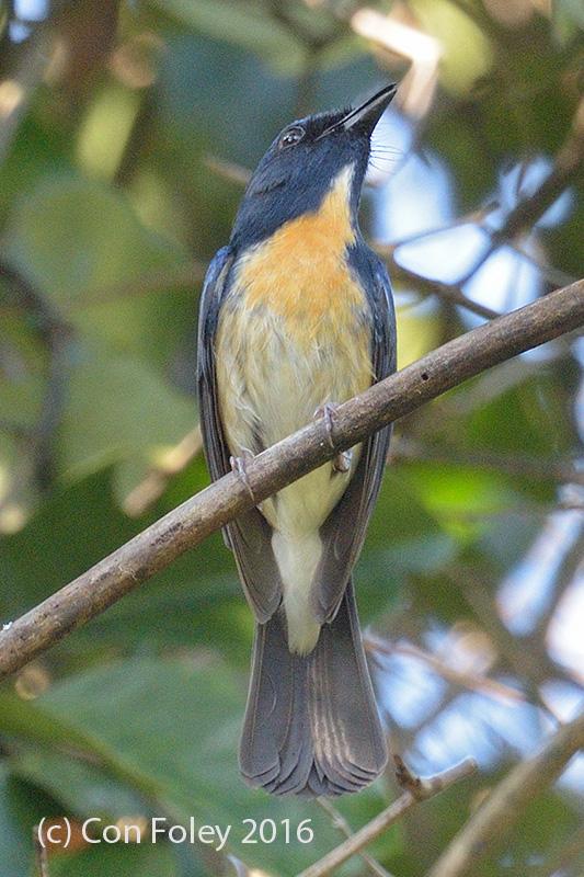 Flycatcher, Hainan (male) @ Bach Ma