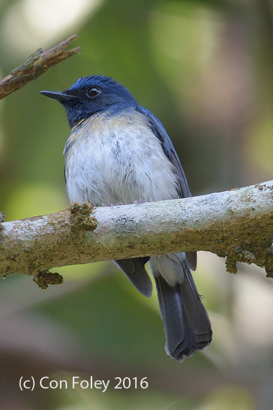 Flycatcher, Hainan (male) @ Bach Ma