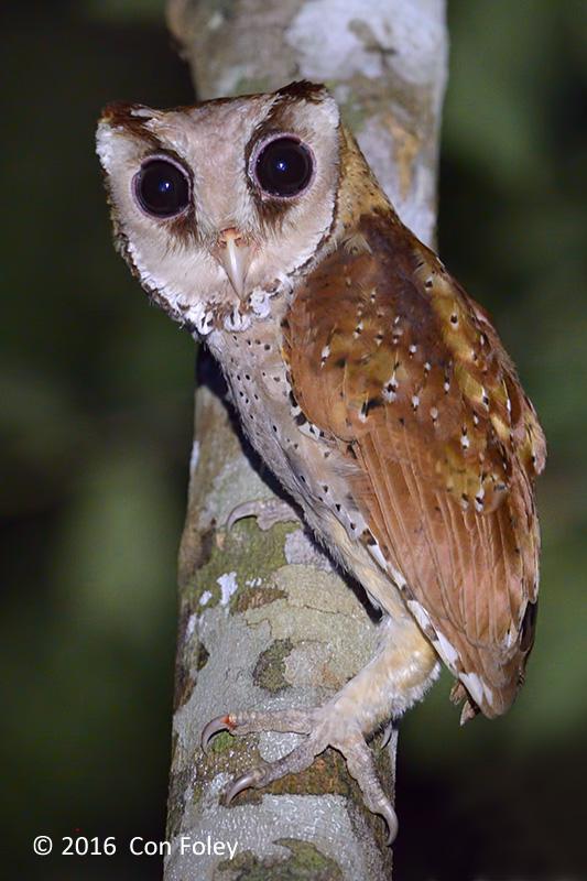 Owl, Oriental Bay