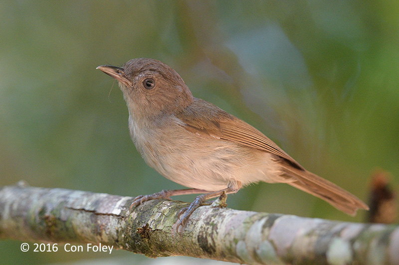 Fulvetta, Brown
