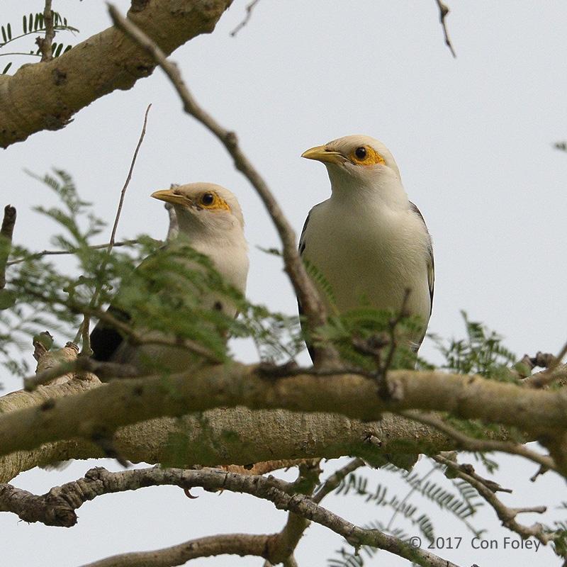 Starling, Black-winged @ Bali Barat