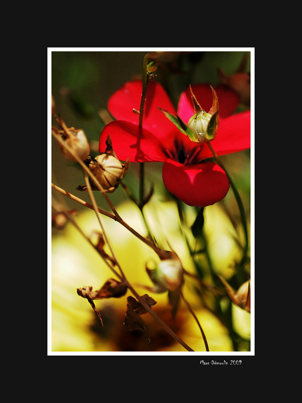 Red flower and buds