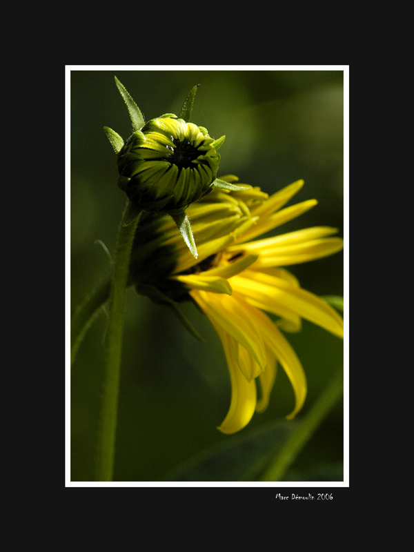 Yellow flower and bud