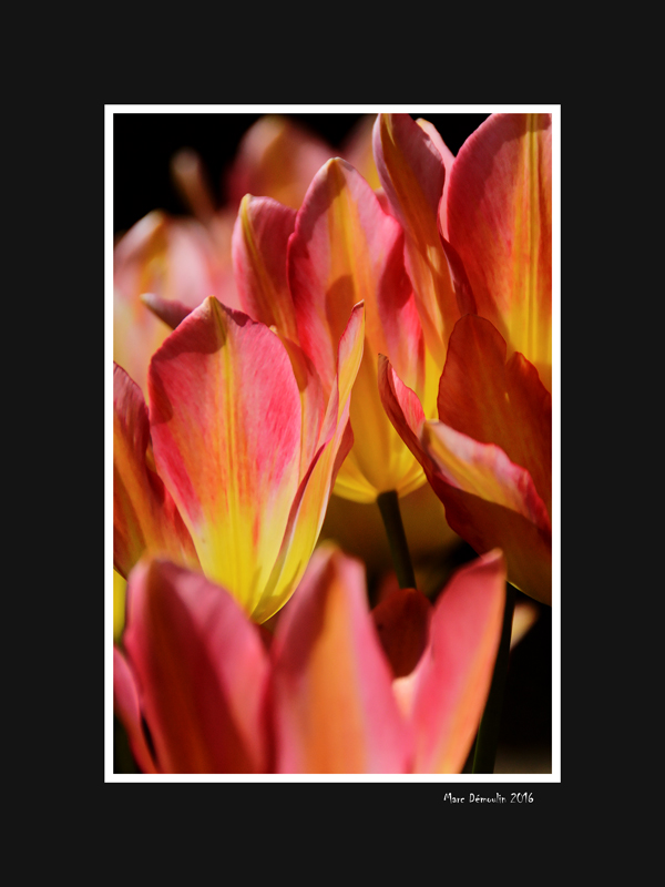 Yellow and pink tulips