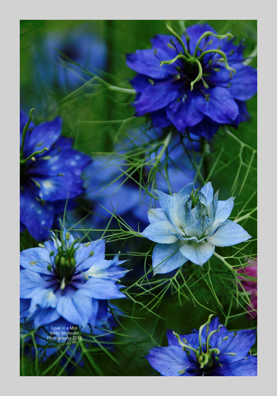 Love in a Mist 12
