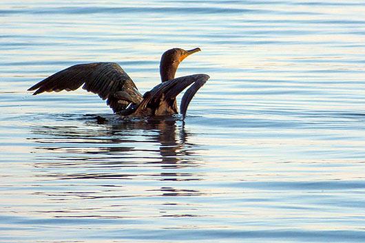 Cormorant Taking Flight 20130817
