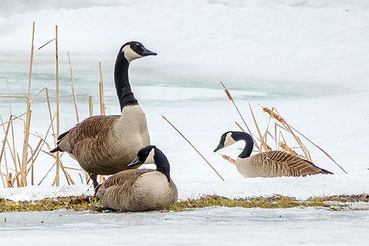 Three Geese P1010440