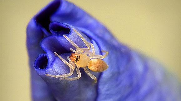 Tiny Spider On A Budding Iris DSCF15822