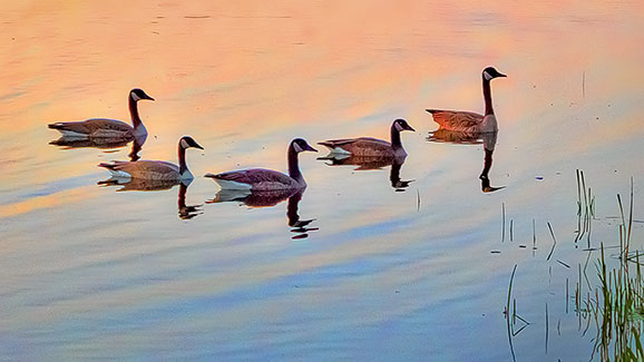 Five Geese Aswimming 20140806