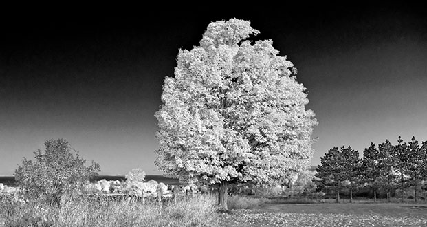Autumn Tree Faux IR P1140268