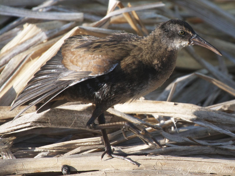 Virginia Rail: <i>Rallus limicola</i>, Kachina Wetlands- Flagstaff, AZ