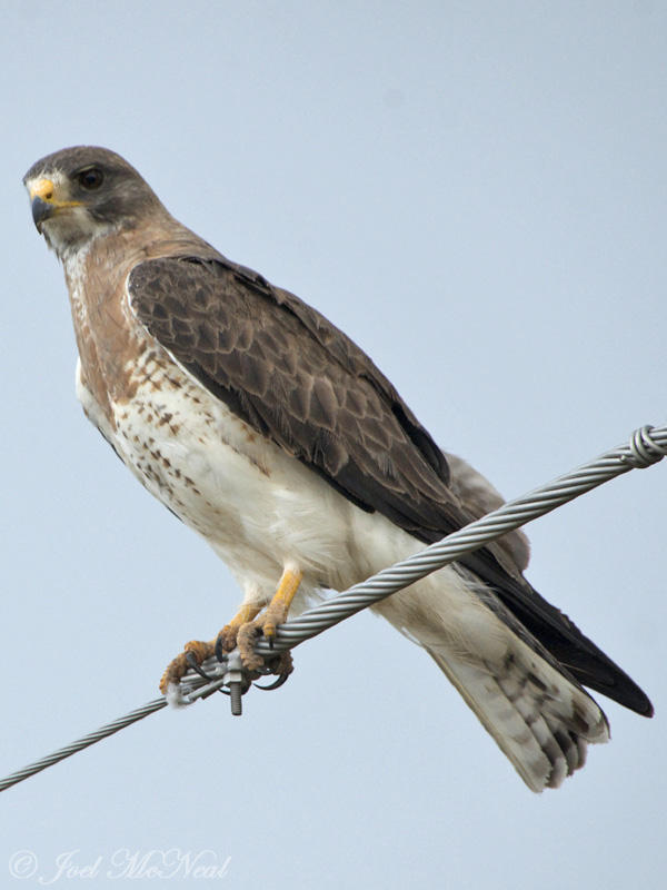 Swainsons Hawk: Pawnee National Grassland, Weld Co., CO