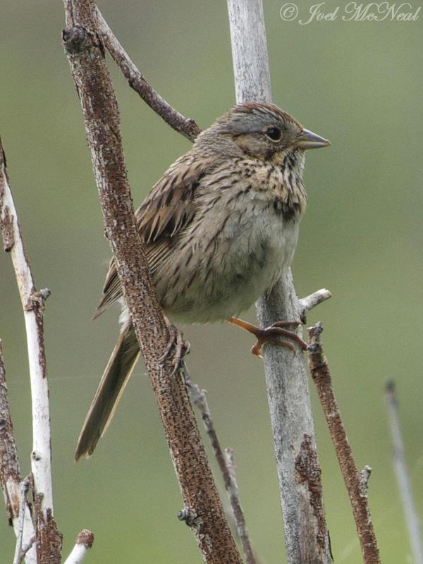 Lincolns Sparrow: Rocky Mountain NP, Larimer Co., CO