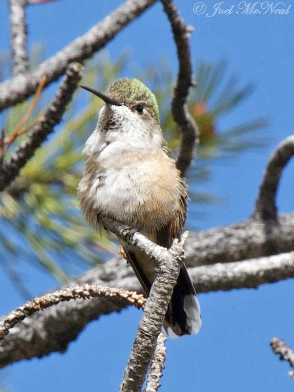 female Broad-tailed Hummingbird: Rocky Mountain NP, Larimer Co., CO