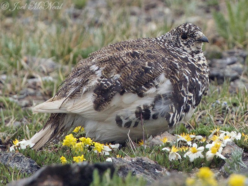 White-tailed Ptarmigan: Rocky Mountain NP, Larimer Co., CO