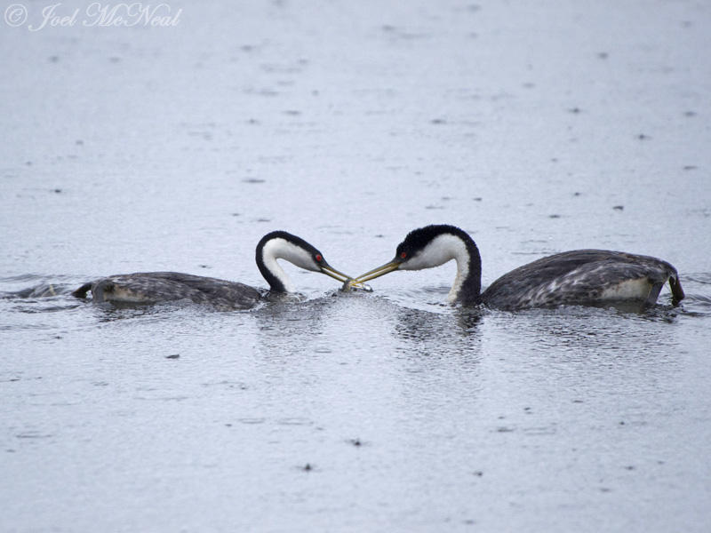 Western Grebe pair exchanging fish: Jackson Co., CO