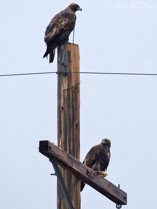 Golden Eagle pair: Arapaho NWR, Jackson Co., CO