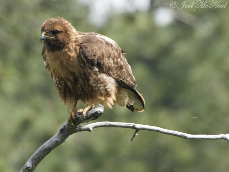 Red-tailed Hawk (western): Archuleta Co., CO