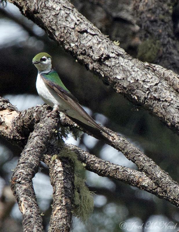 Violet-green Swallow: <i>Tachycineta thalassina</i>, Archuleta Co., CO