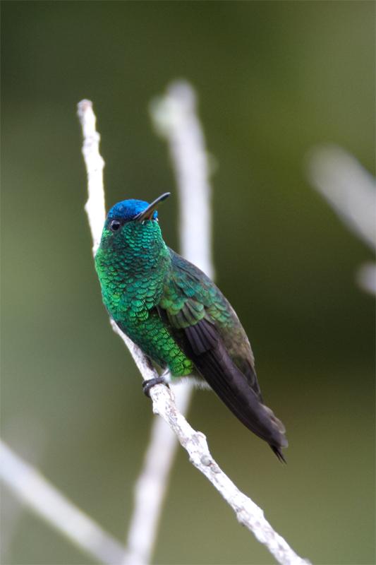 Indigo-capped-Hummingbird.jpg