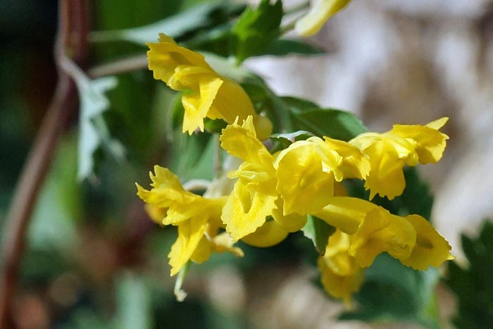 Yellow Fumewort 2  aka Yellow Corydalis
