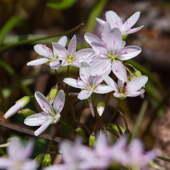 Virginia Spring Beauty 2