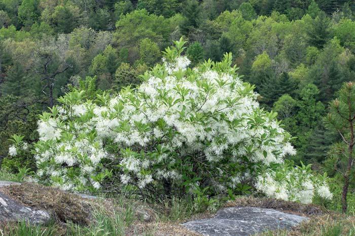 Fringe Tree 2