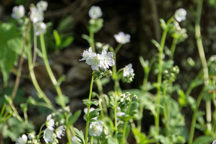 Smallflower Phacelia 1