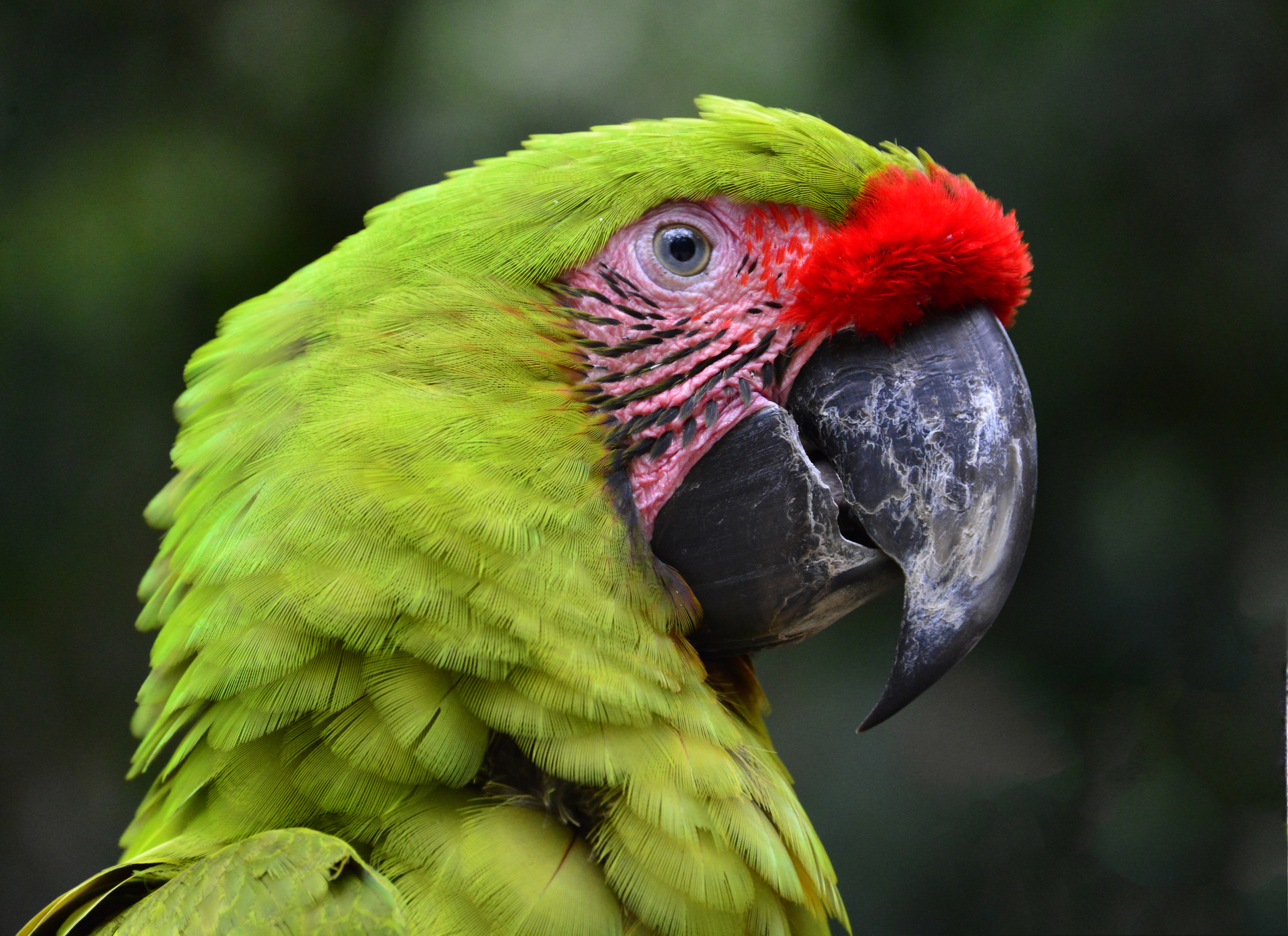 Oct.    Macaw in Honduras.jpg