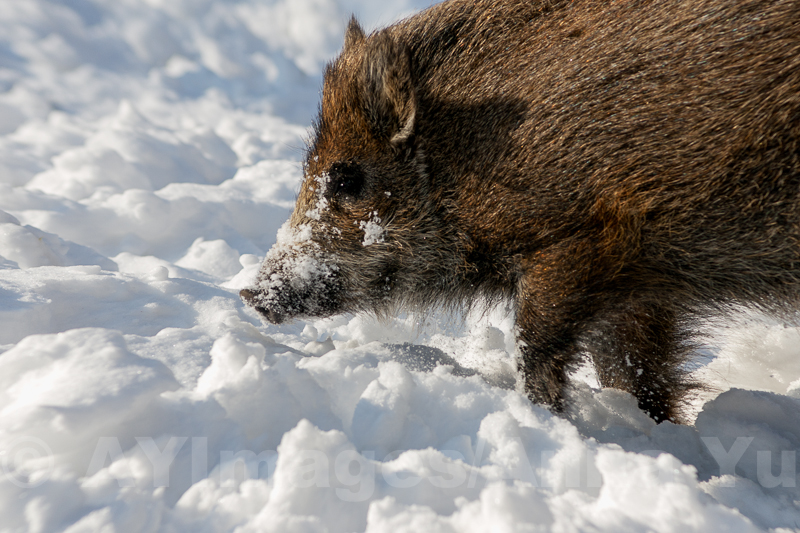 Pig in the snow