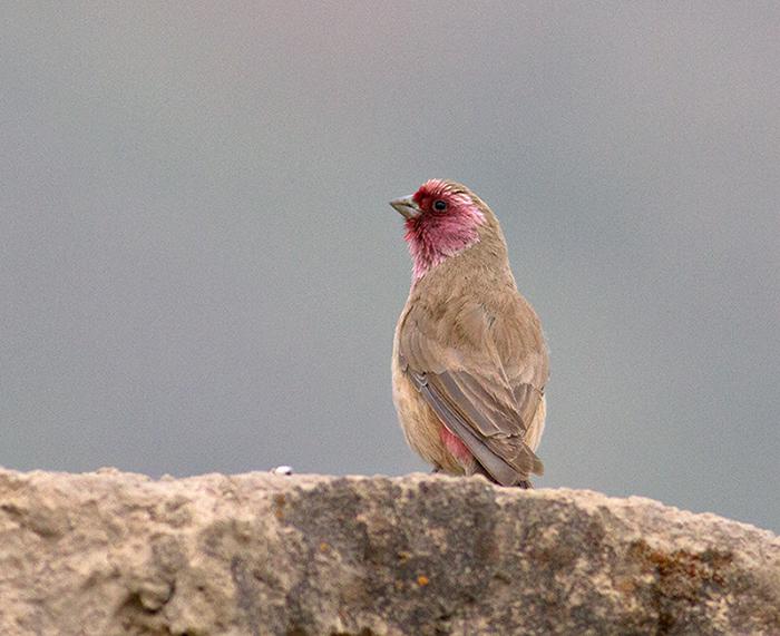 Pale Rosefinch