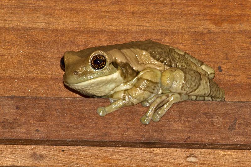 Common Milk Frog or Veined Tree Frog
