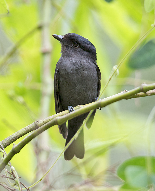 Jamaican-Becard-male-Section-Blue-Mountains-Jamaica-21-March-2016-Sam-Woods_S9A1800.jpg