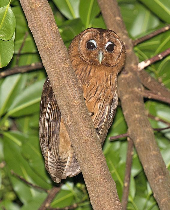 Jamaican-Owl-Goblin-Hill-Villas-Port-Antonio-Jamaica-21-March-2016-Sam-Woods_S9A1867.jpg
