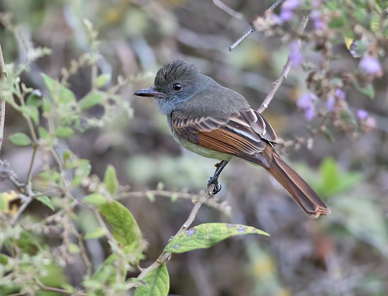 Rufous-tailed-Flycatcher-Starlight-Chalet-Blue-Mountains-Jamaica-21-March-2016-Sam-Woods_S9A1693.jpg