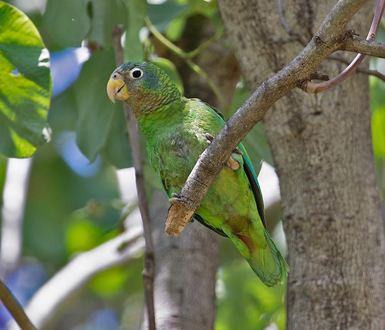 Yellow-billed-Parrot-Hope-Gardens-Kingston-Jamaica-19-March-2016-Sam-Woods_S9A0530.jpg