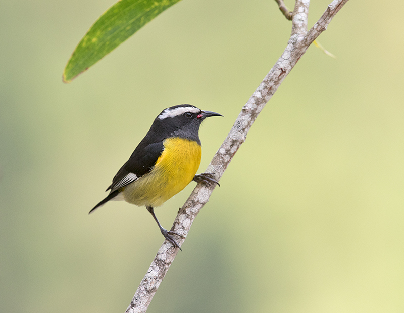 Bananaquit-Starlight-Chalet-Blue-Mountains-Jamaica-22-March-2015_S9A5058.jpg