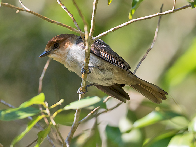 Jamaican-Becard-female-Section-Blue-Mountains-Jamaica-22-March-2015_S9A4764.jpg