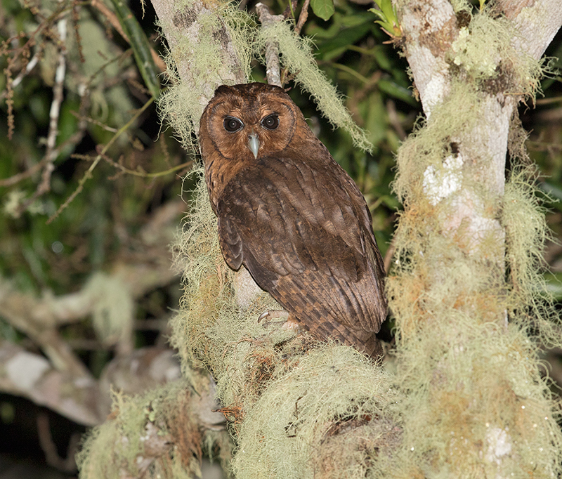 Jamaican-Owl-Section-Blue-Mountains-Jamaica-24-March-2015_S9A6323.jpg