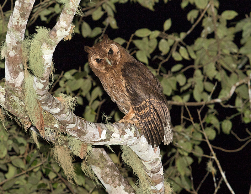 Jamaican-Owl-Section-Blue-Mountains-Jamaica-25-March-2015_S9A6743.jpg