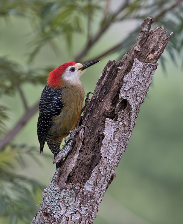 Jamaican-Woodpecker-Silver-Hill-Cottage-Silver-Hill-Gap-Blue-Mountains-Jamaica-22-March-2015_S9A5360.jpg