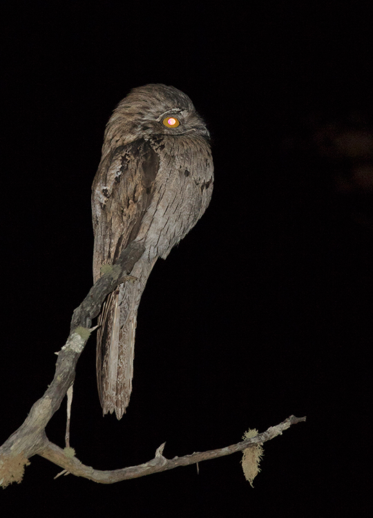 Northern-Potoo-Silver-Hill-Cottage-Silver-Hill-Gap-Blue-Mountains-Jamaica-22-March-2015_S9A5628.jpg