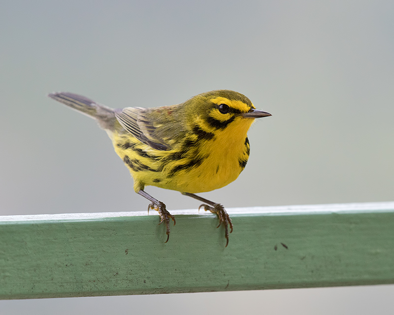 Prairie-Warbler-male-Starlight-Chalet-Blue-Mountains-Jamaica-25-March-2015_S9A6695.jpg