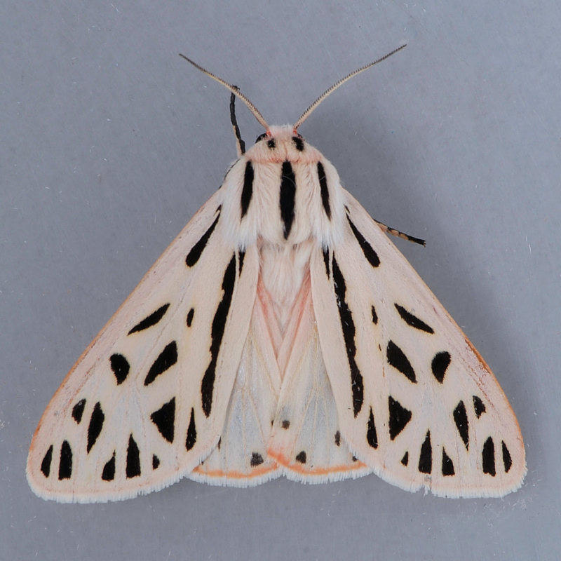 8199 Arge Tiger - Grammia arge