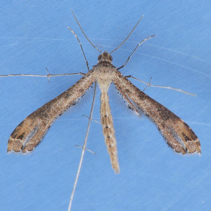 6122 Stenoptilodes brevipennis