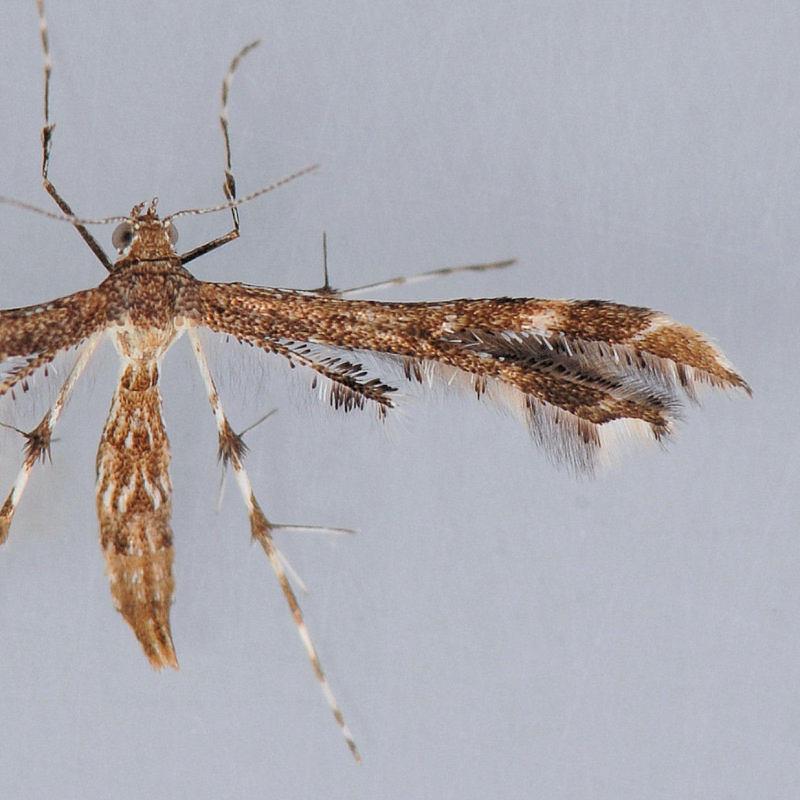 6118  Geranium Plume – Amblyptilia pica   ***