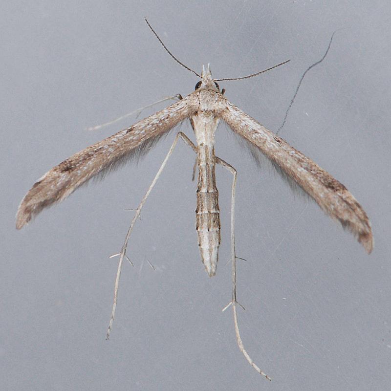 6120 Lioptilodes albistriolatus